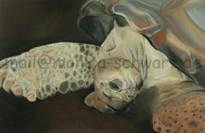Seychellenschildkröte ( Bernhard aus dem Krefelder Zoo )